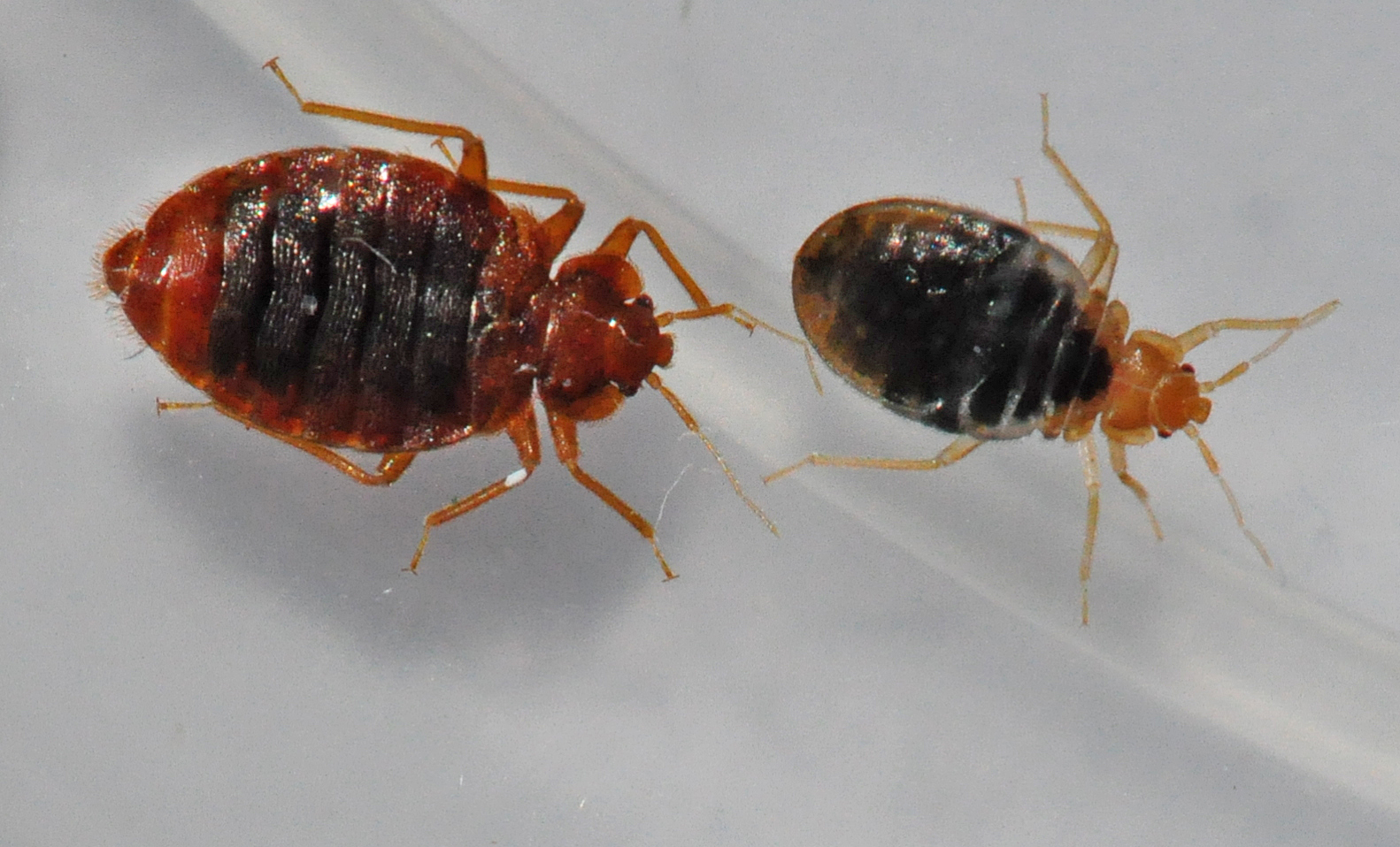 Bed Bugs Control Of Biting Bed Bugs