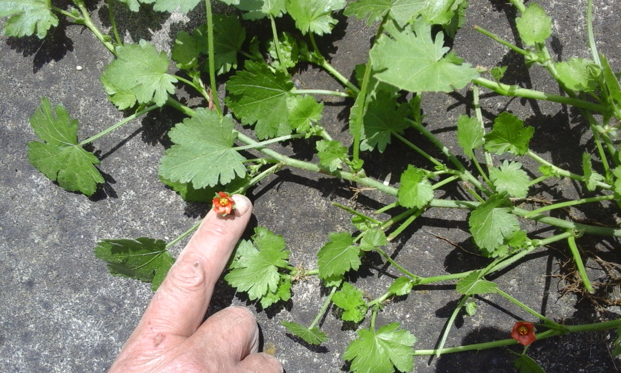 Creeping Mallow How To Control Mallow