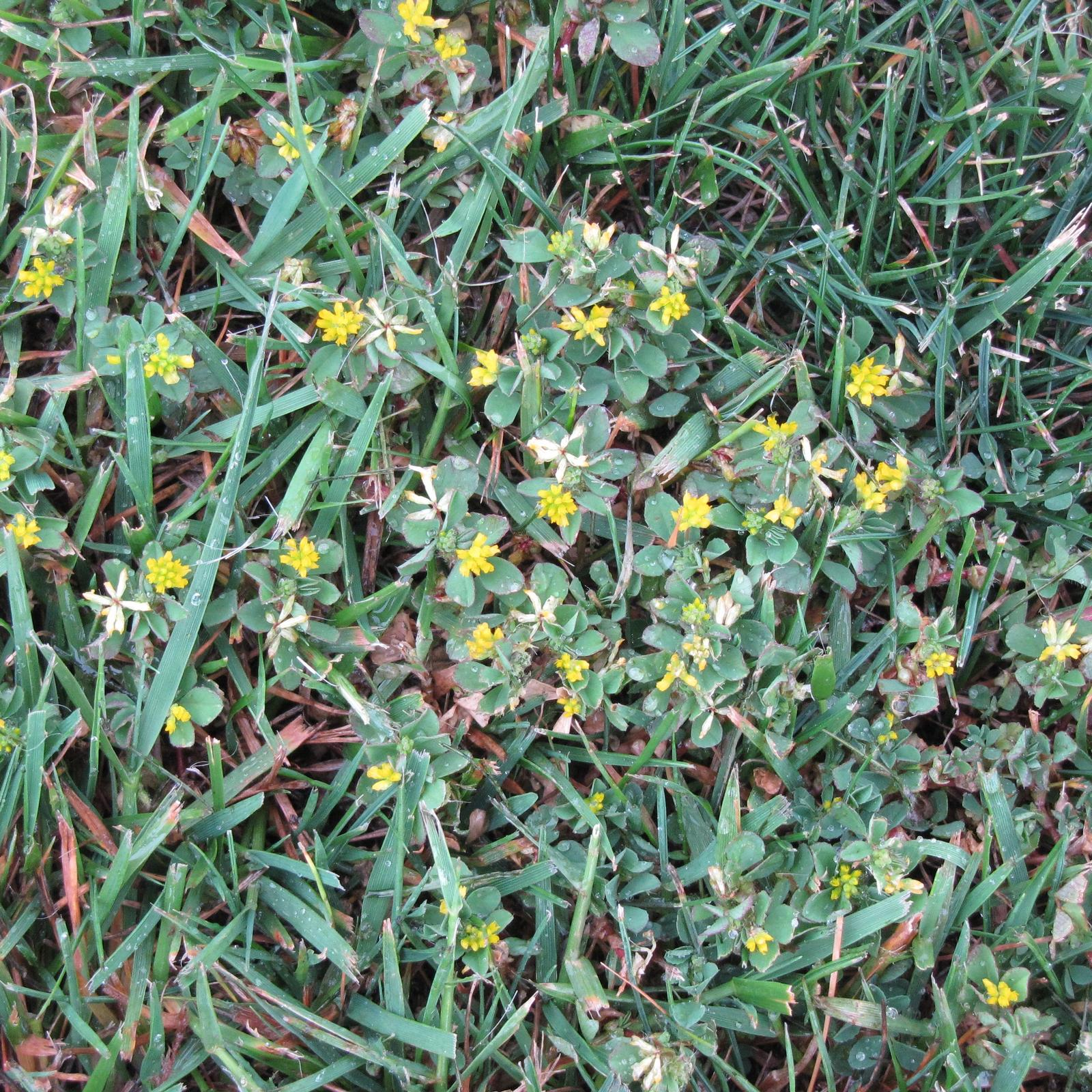 medick advice on identification and control of medick weed in