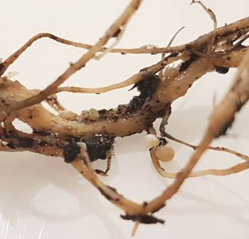Root Aphids And Mealybugs Control Root Pests