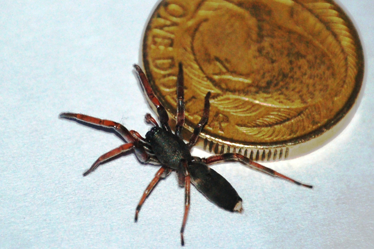 White Tail Spiders Control Of Whitetail Spiders