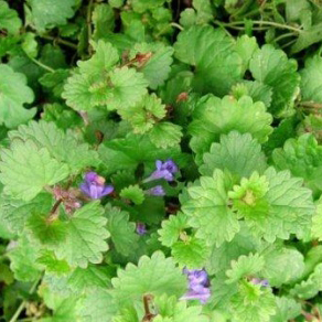 Wild Mint Control Of Wild Mint In Lawns And Gardens