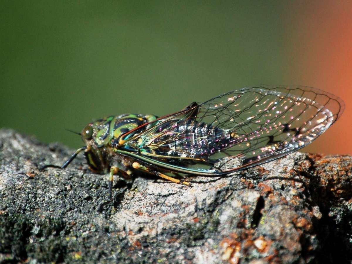 The Sound of Summer – Cicadas