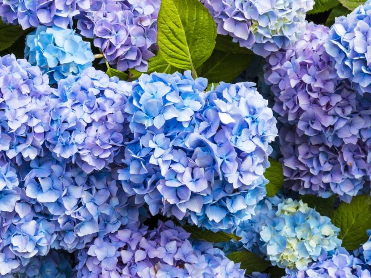 What Colour Will Your Hydrangea Be This Year? You Can Choose