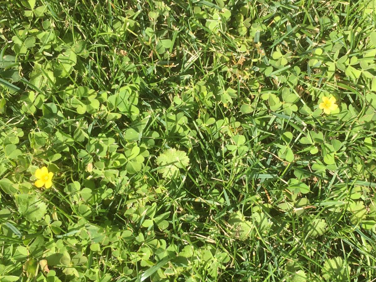 What are those Little Yellow Flowers in My Lawn?