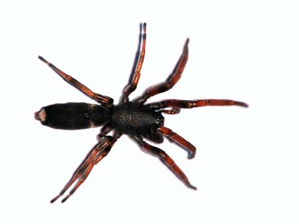 White-tailed Spider Facts and Fictions