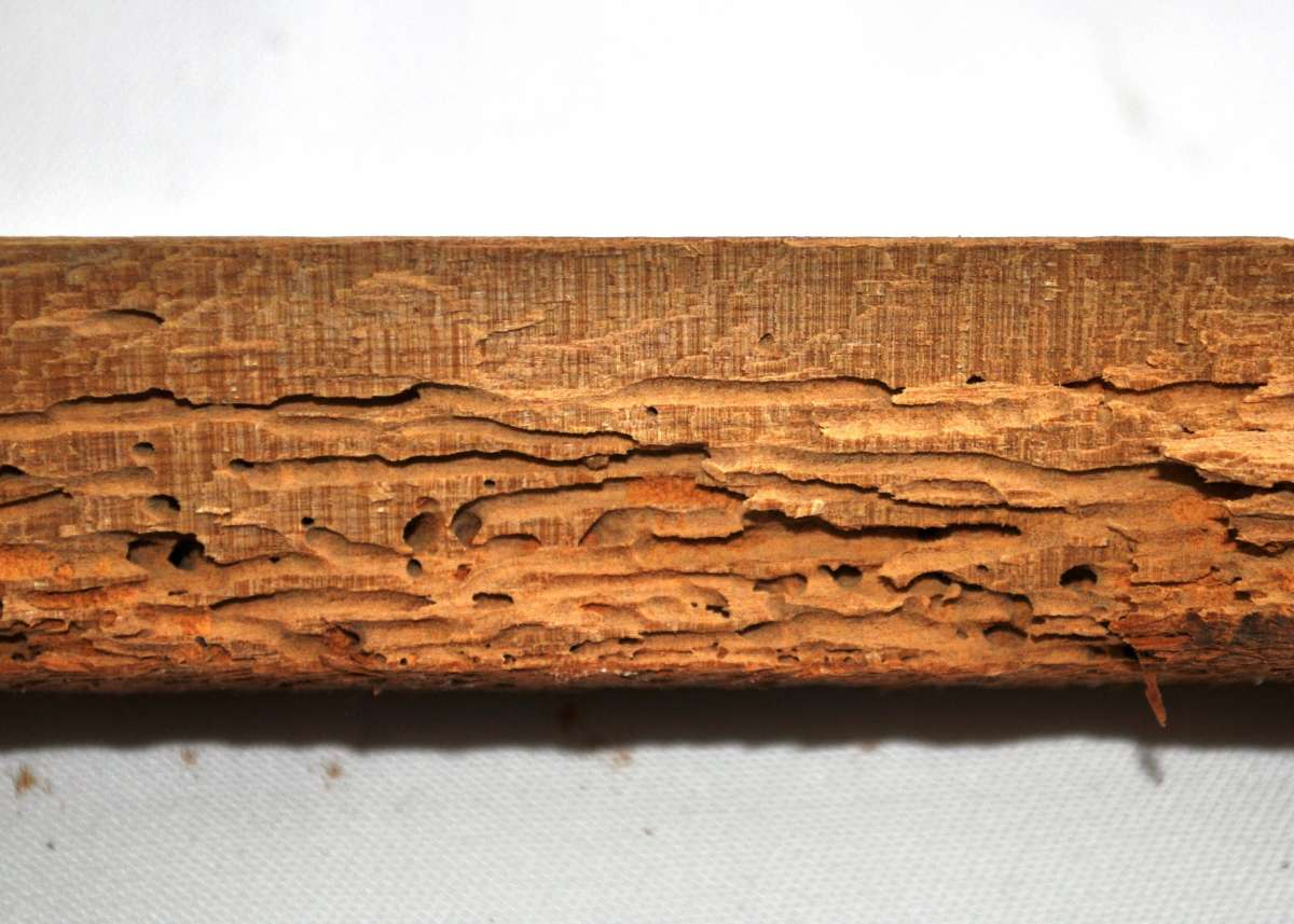 Borer Control Of Borer In Timber And Wood