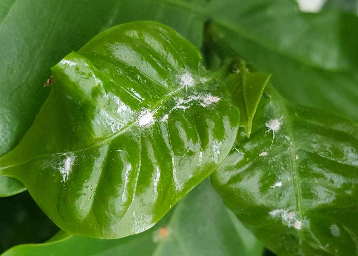 Mealybugs Control Of Mealybug Pests On Garden Plants