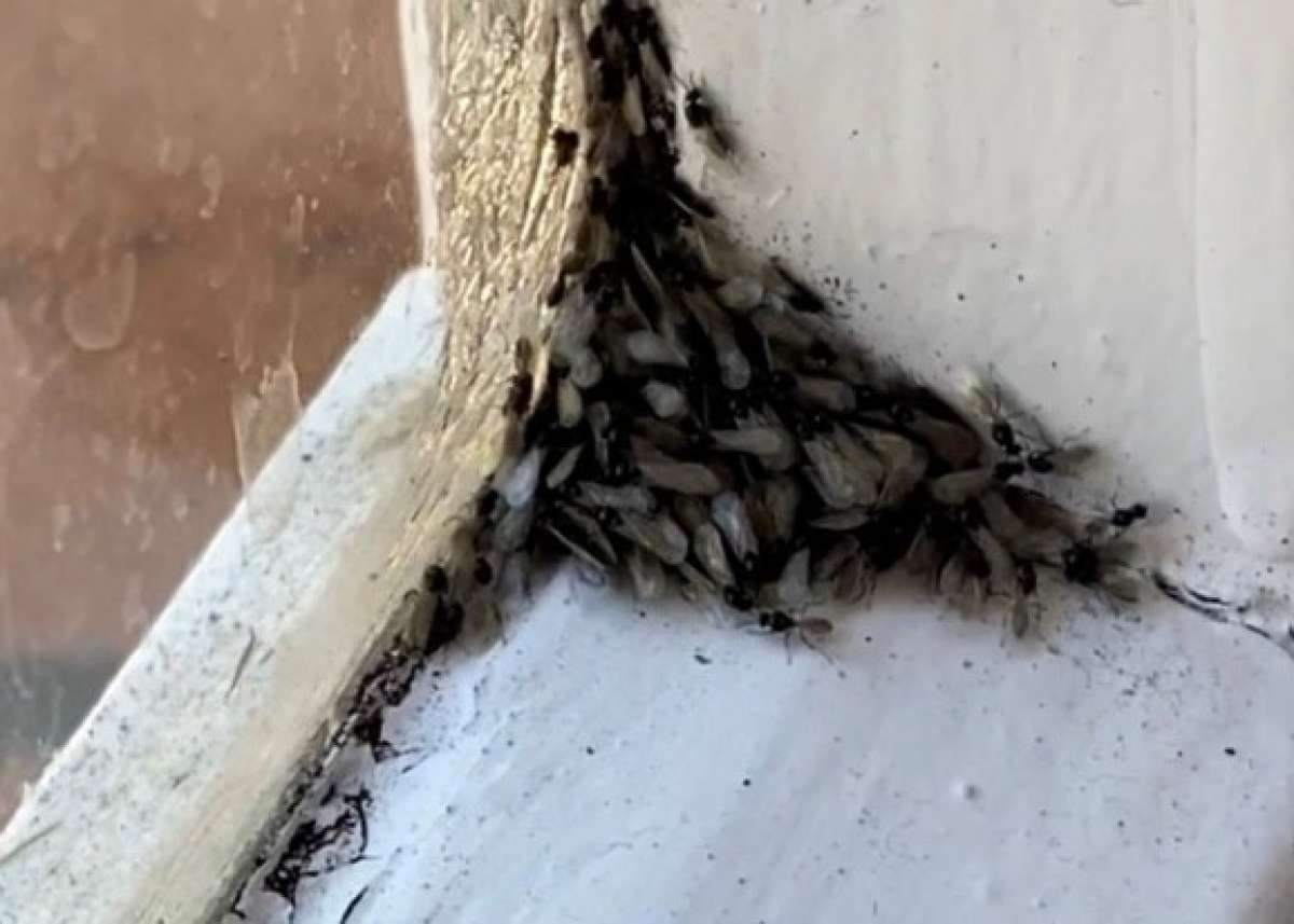 Advice Ants With Wings And How To Get Rid Of Them