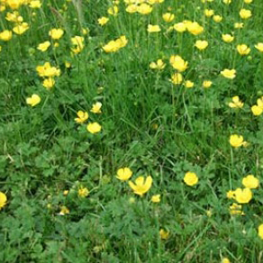 Buttercup Control Of Buttercup In Lawns And Gardens