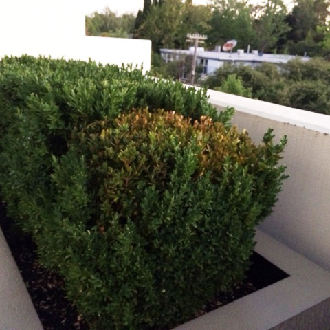 Buxus Blight Control Of Buxus Blight In Box Hedging