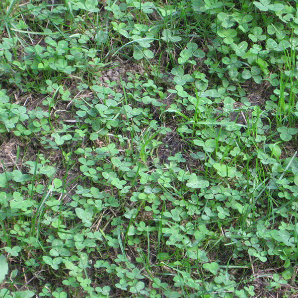 Clover Control Of Clover In Lawns And Gardens