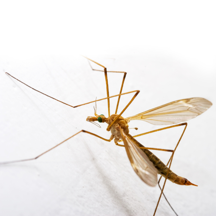 Mosquito Hawk Skeeter Eater Giant Mosquito No No and No