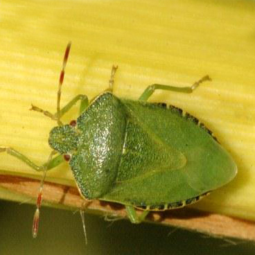 Shield Bugs Control Of Shield And Stink Bugs