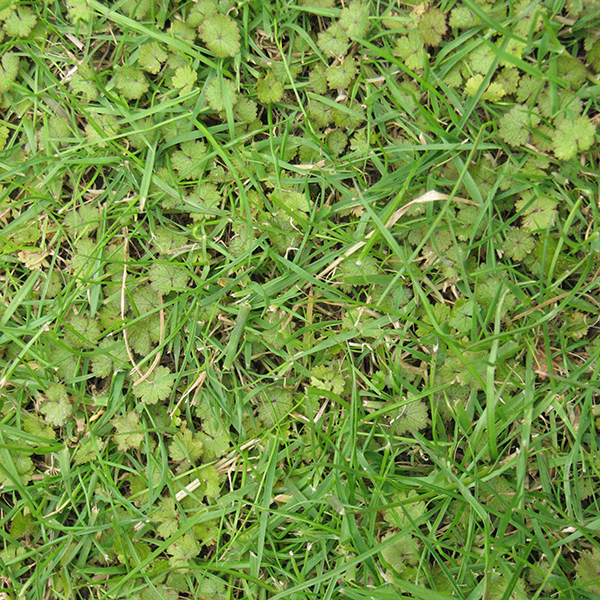 Hydrocotyle - Control of hydrocotyle weed in lawns.
