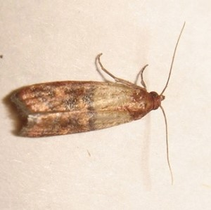 Pantry moth control of pantry moth in homes for Pantry moths