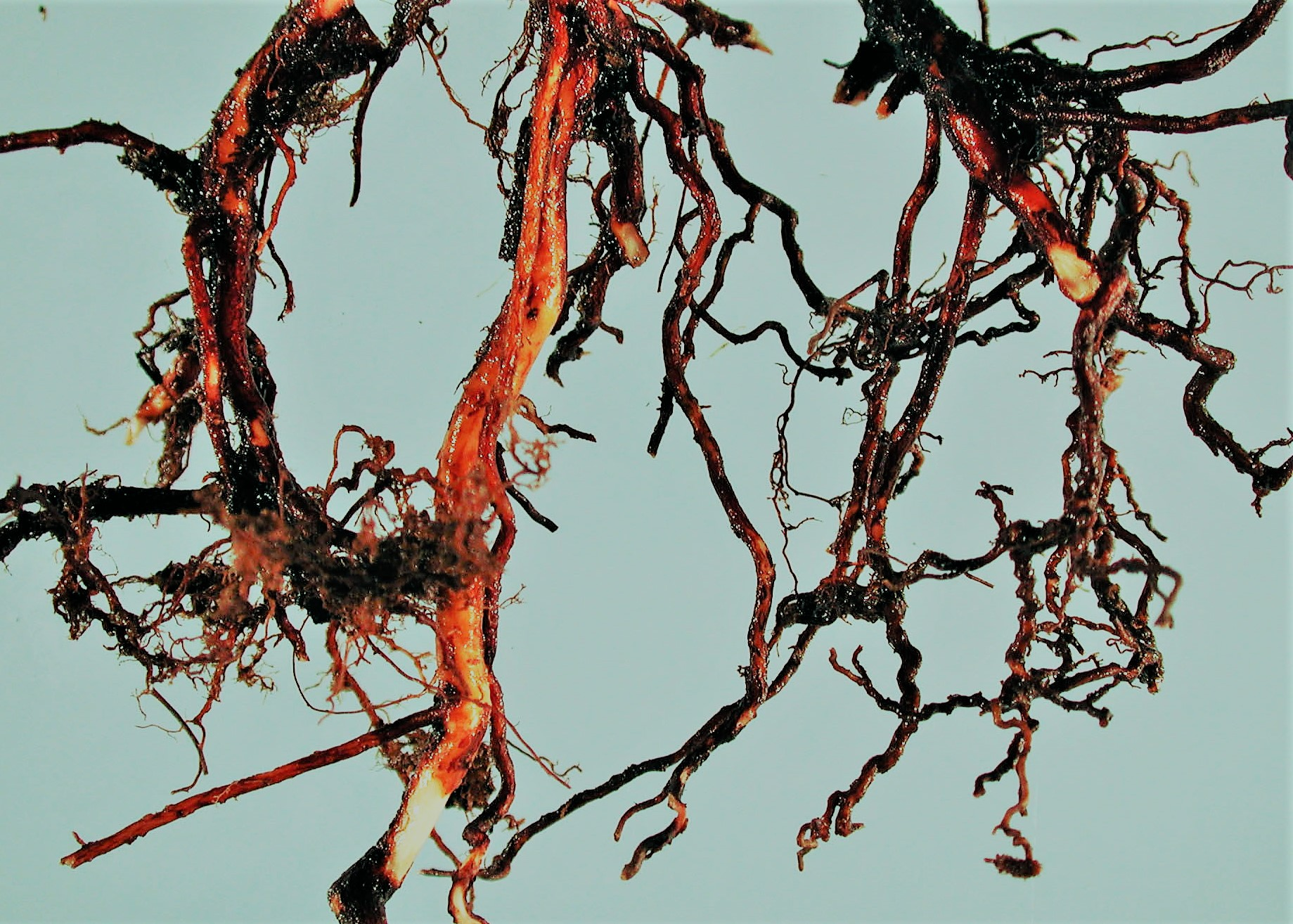 Root Rot Control Of Root Rot Diseases Of Plants
