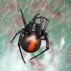 Redback Spider Control Of Redback Spiders