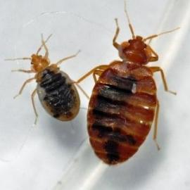 Adult and juvenille bed bugs