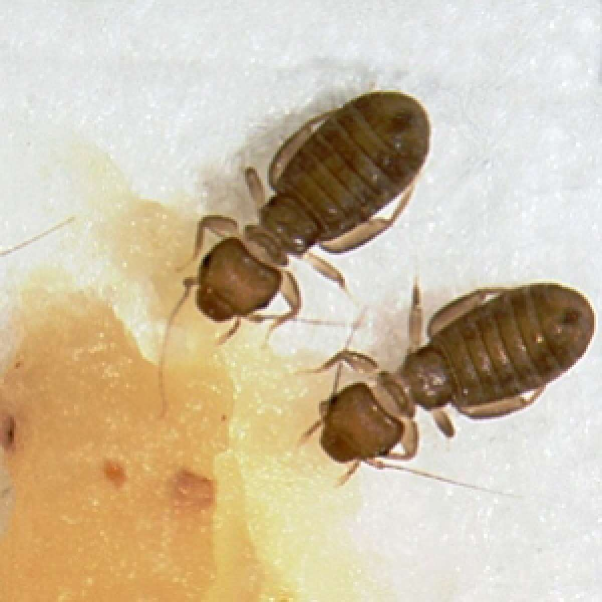 Control Of Booklice In Homes