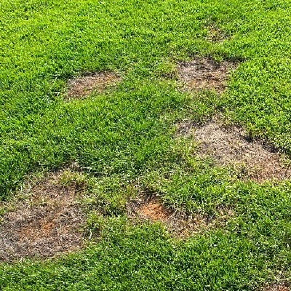 How to fix bald spots in lawn