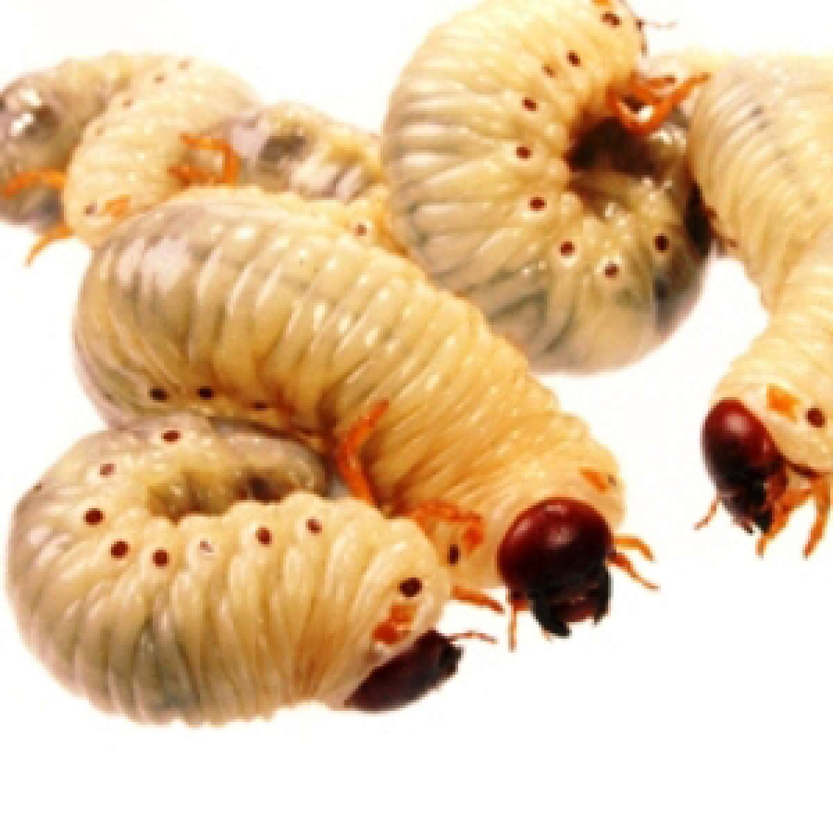 Maggots Control Of Maggot Pests In