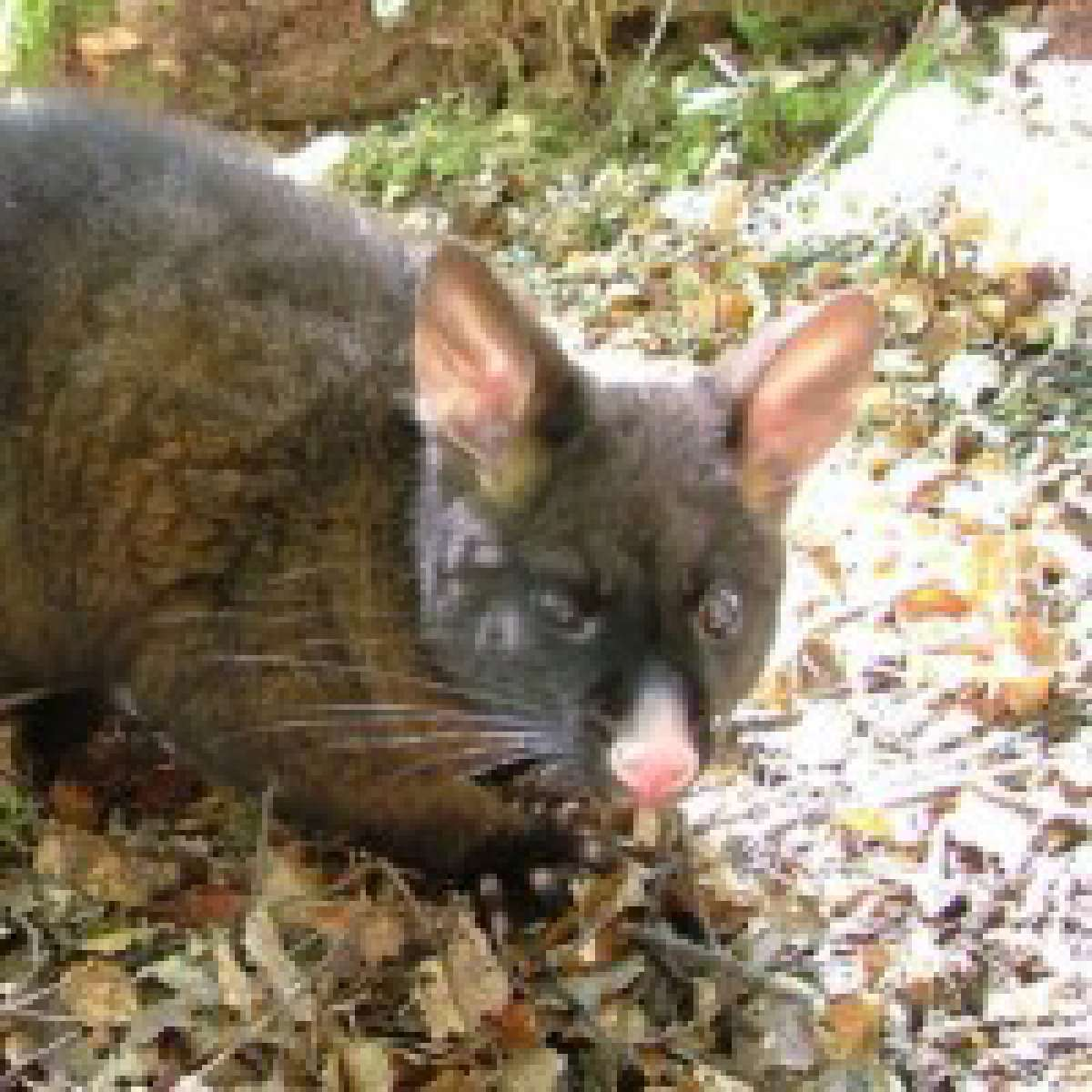 Possums - Control Possums in Gardens and Bush