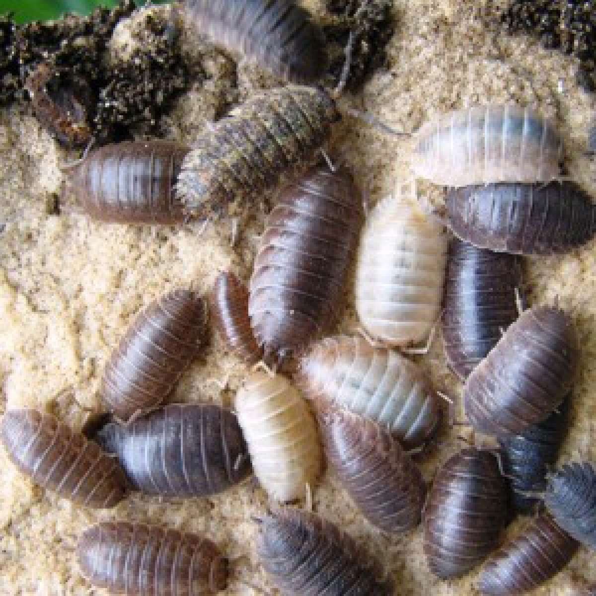 Slaters Woodlice Control Of Slaters Indoors