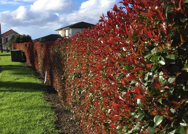 Advice Fertiliser For Buxus And Other Hedging Plants