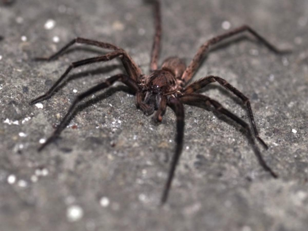 how to kill wolf spiders