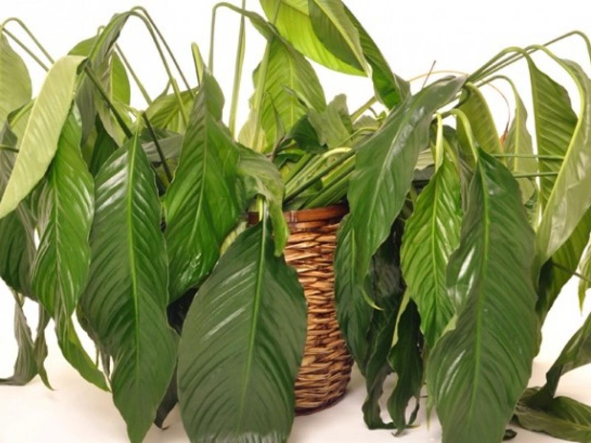 Advice How To Help Wilting Indoor Plants Recover