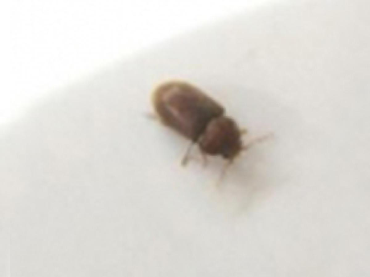 Little Brown Bugs In My Bed