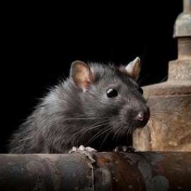 Homepage-container-pest-rat.jpg